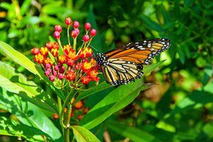 monarch butterfly on a flower