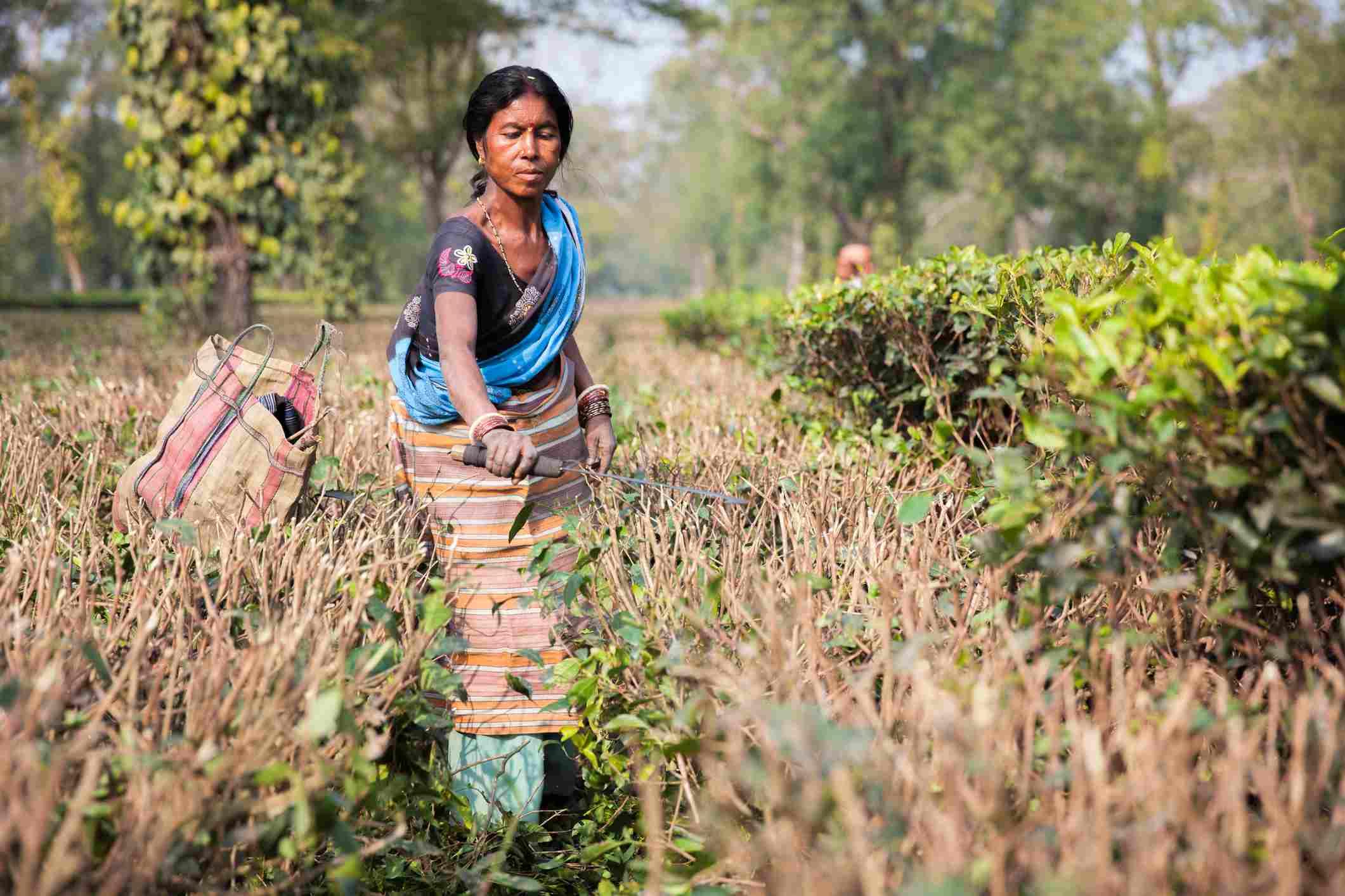 Tea Plantation workers in Tezpur, Assam