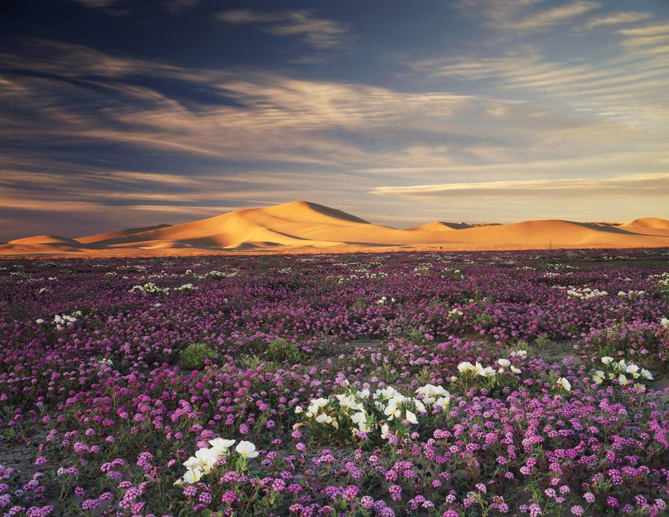 Sand Verbena Wildflowers Abronia Villosa And Dune Evening Primrose Oenothera Deltoides Flowers On Dumont Dunes In
