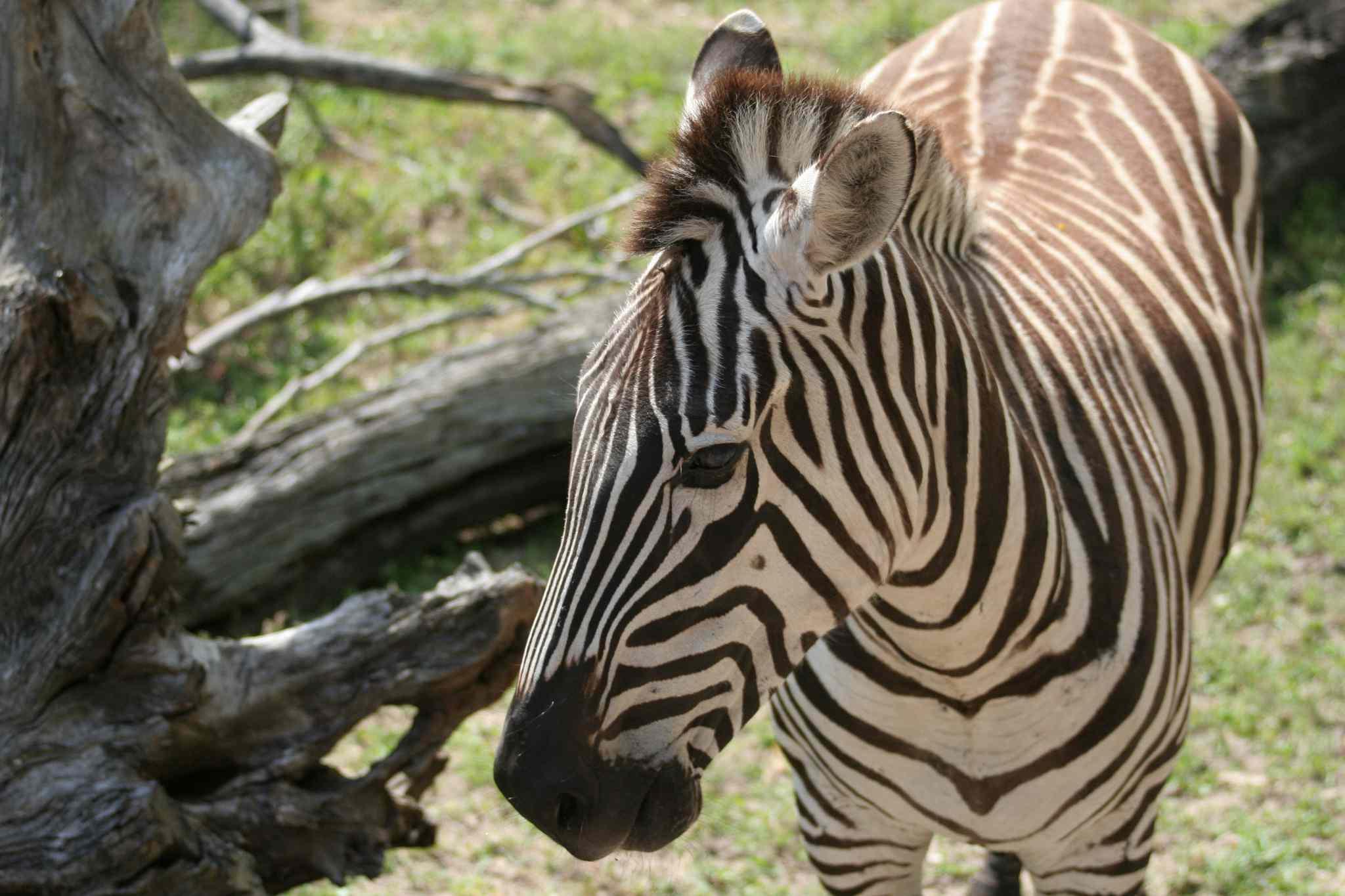 Zebra in the Kilimanjaro Safaris