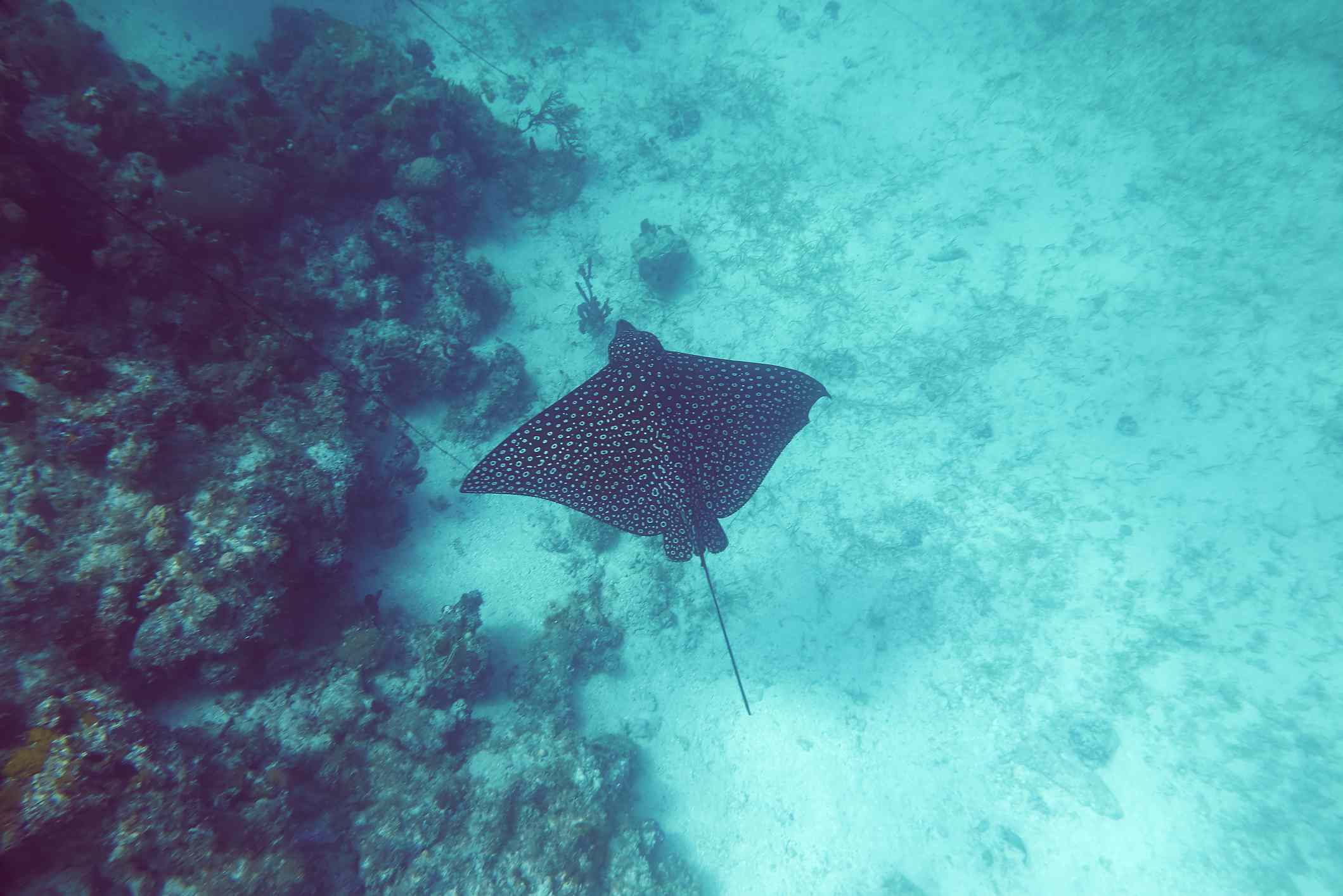 Spotted Eagle Ray at Smith's Reef, Turtle Cove