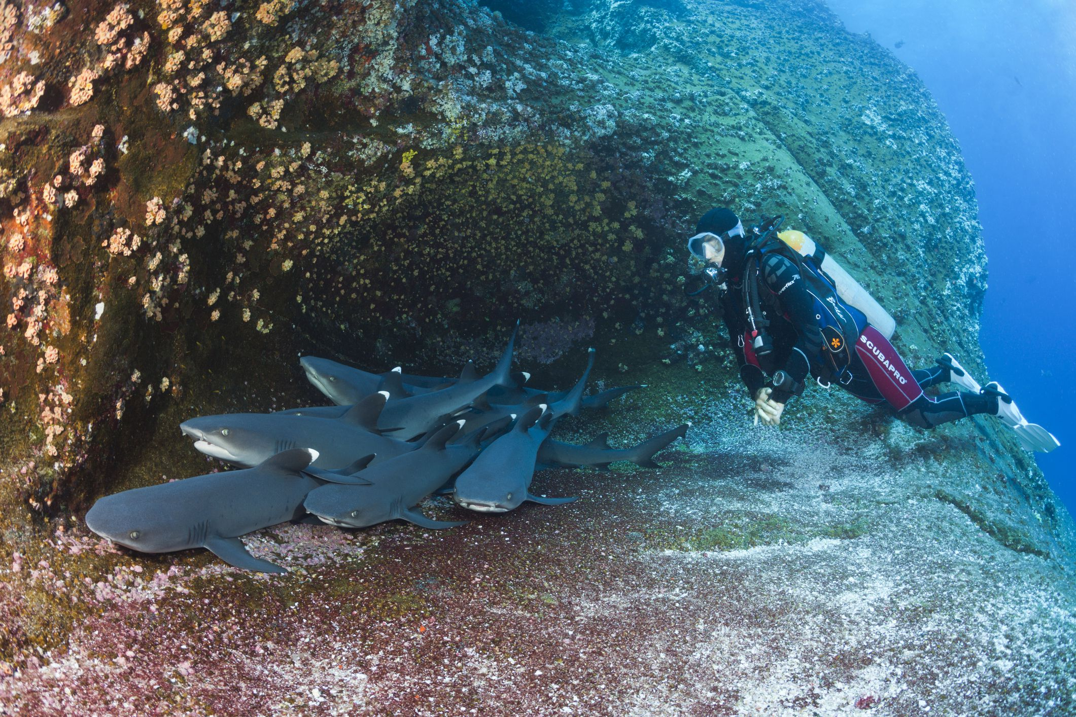 Whitetip reef sharks sleeping in a cave