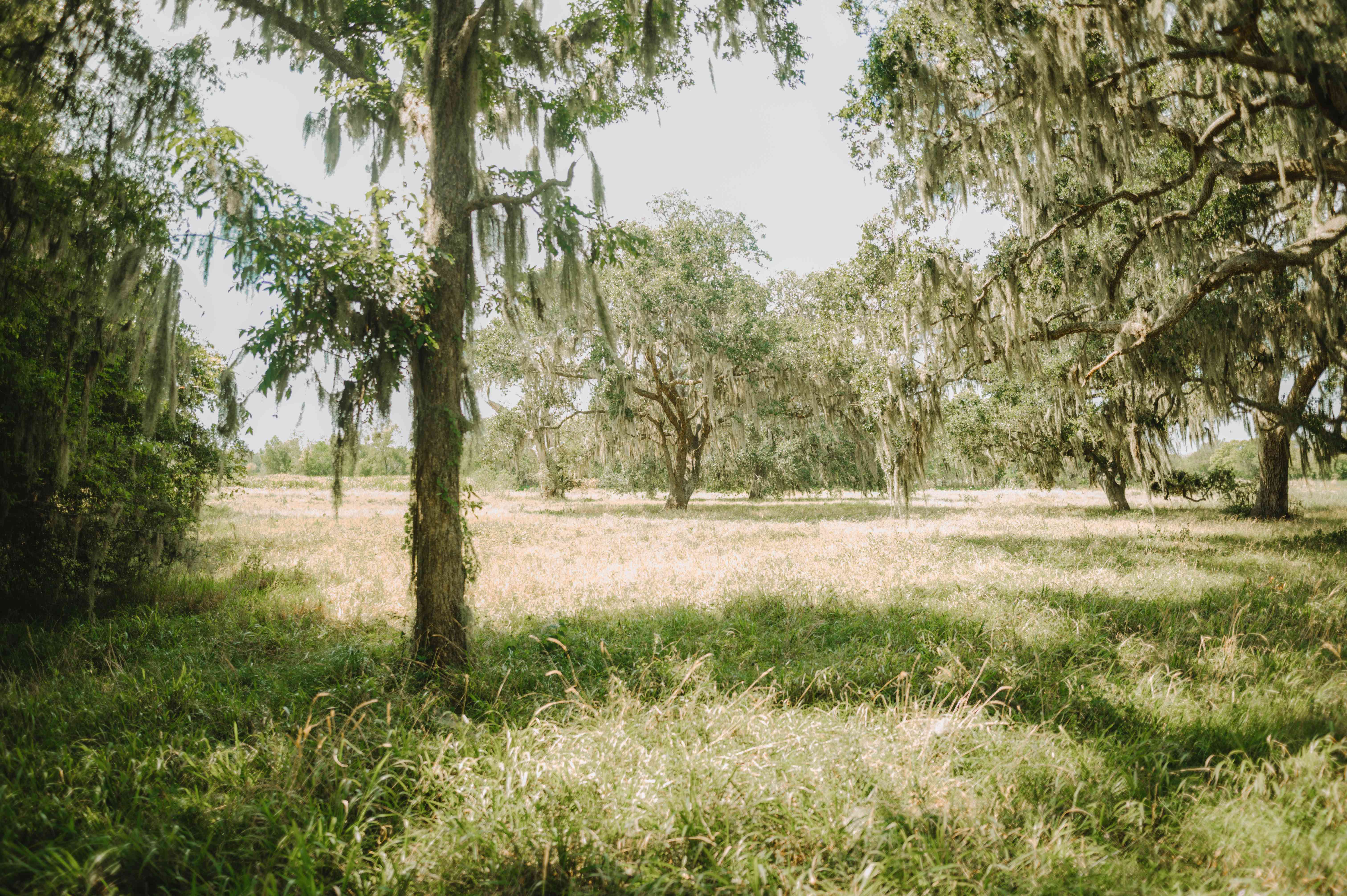 Grassy fields and mossy trees in the Brazos Bend State Park