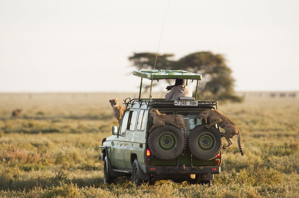 Cheetahs on a safari vehicle in Tanzania's Serengeti National Park