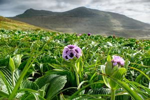 purple flower and grass with mountain behind