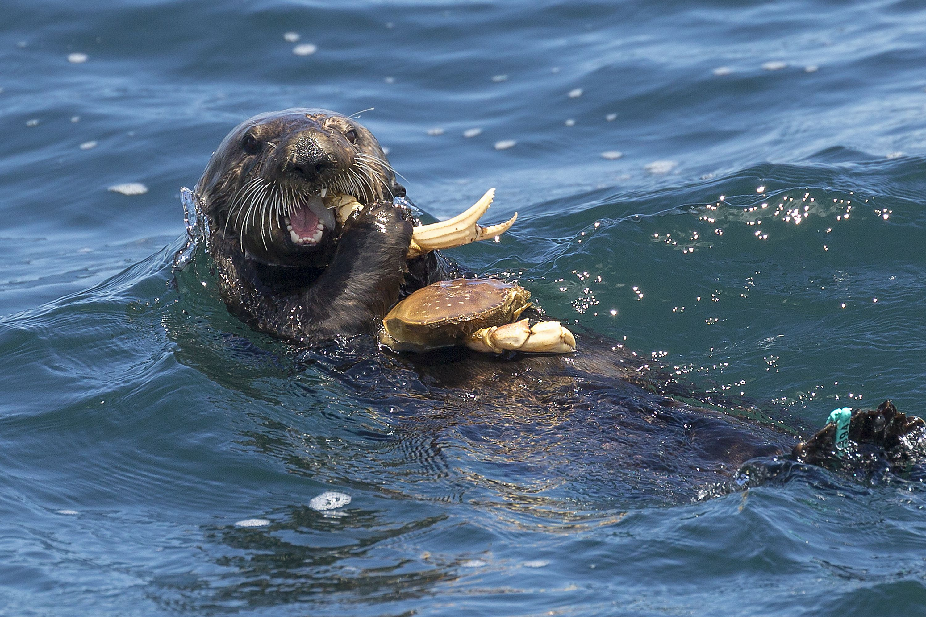 Otter Eating Fish – 1Funny.com |Sea Otters Eating Bears