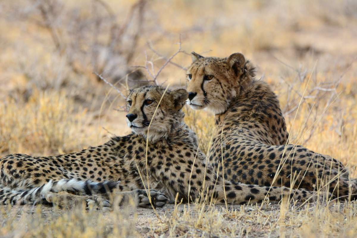 Two cheetahs lying in the grass together