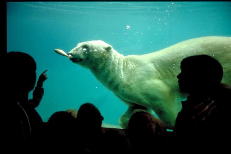 El oso polar se exhibe en el zoológico Point Defiance en Tacoma