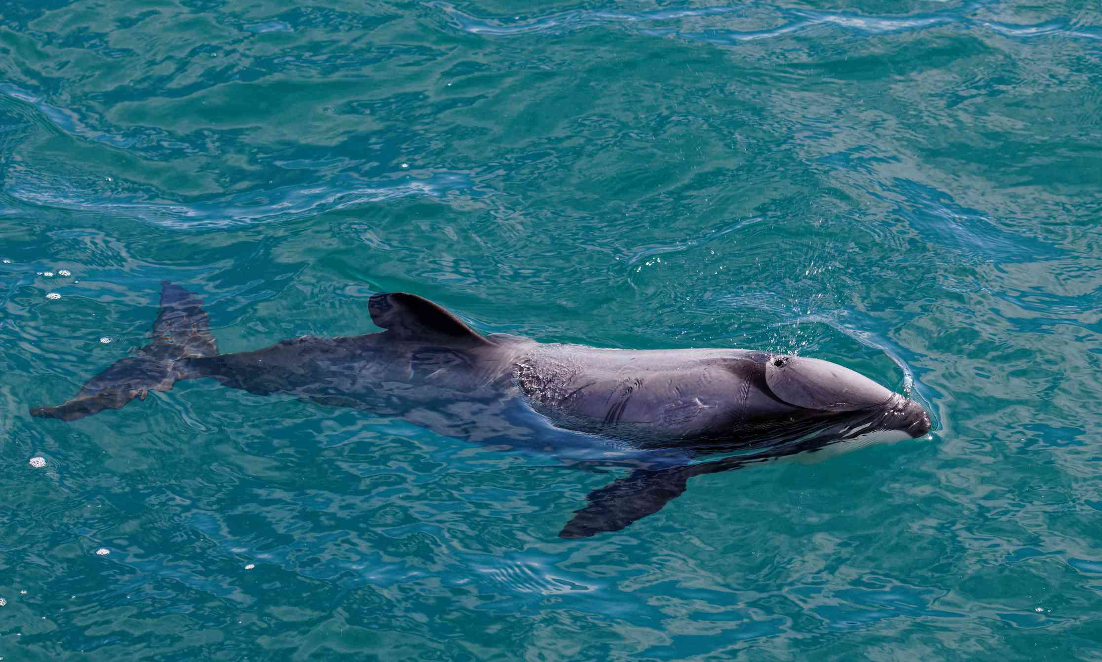 dolphin swimming in turquoise sea
