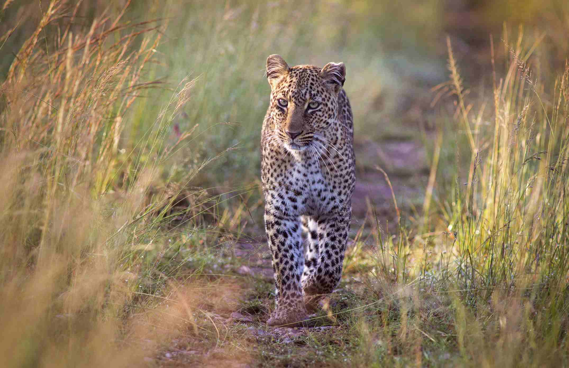 Female leopard, Maasai Mara National Reserve