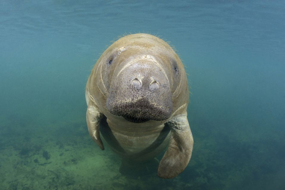 'Florida manatee, Trichechus manatus latirostris, Homosassa Springs, Florida, USA'