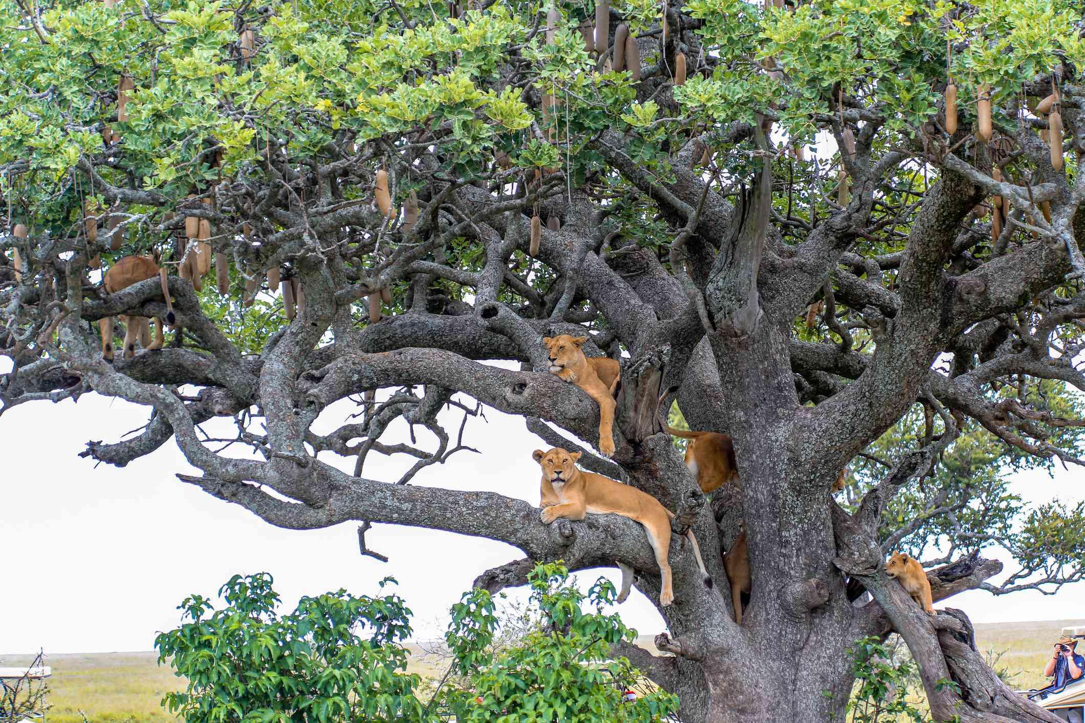 Tree-climbing lions in Lake Manyara National Park, Tanzania