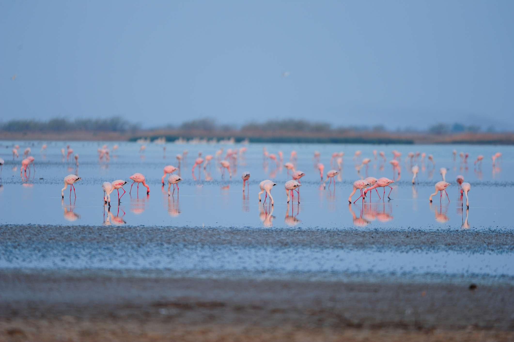 Flamingos feed on the brackish water in Little Rann of Kutch, Gujarat
