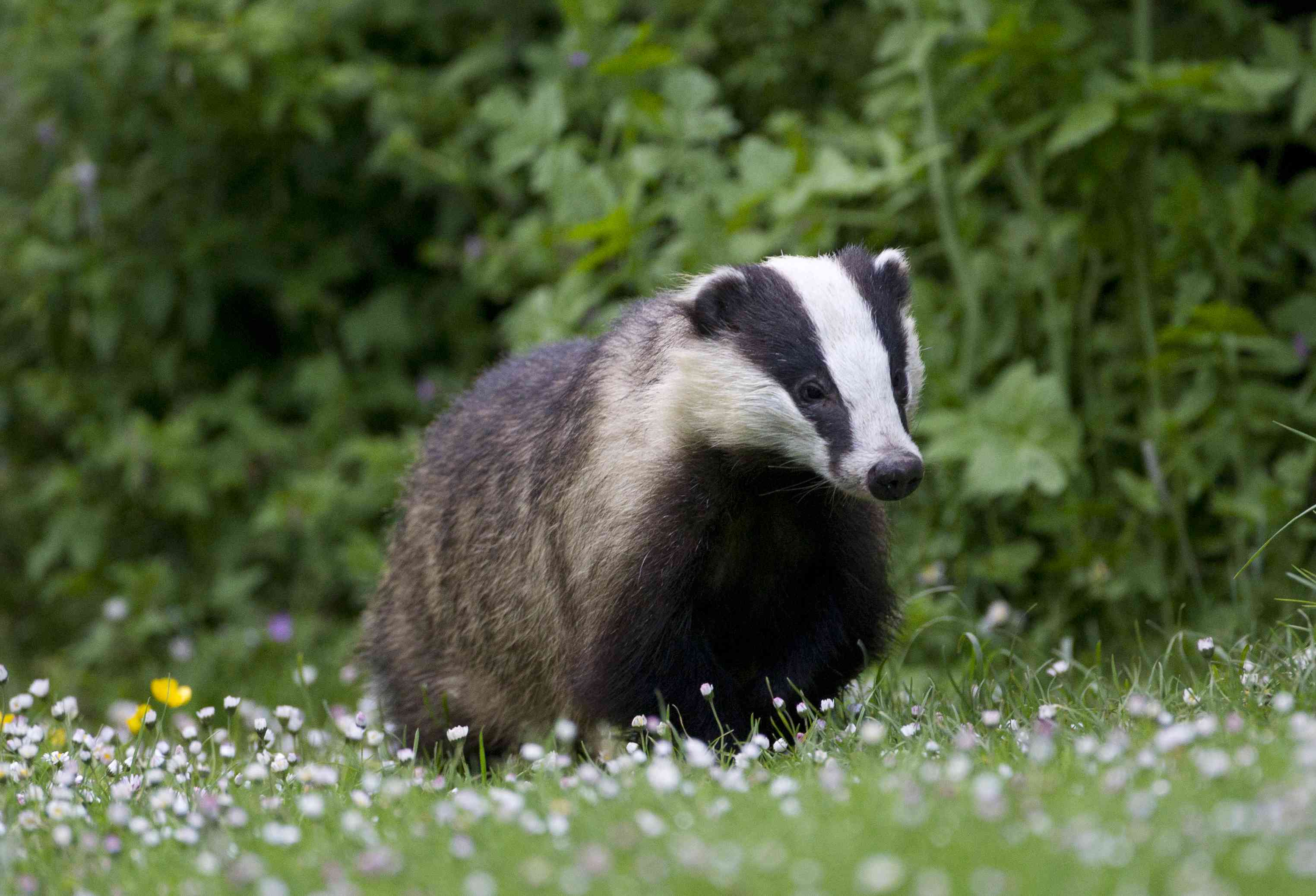 Badger in a field of wildflowers, England