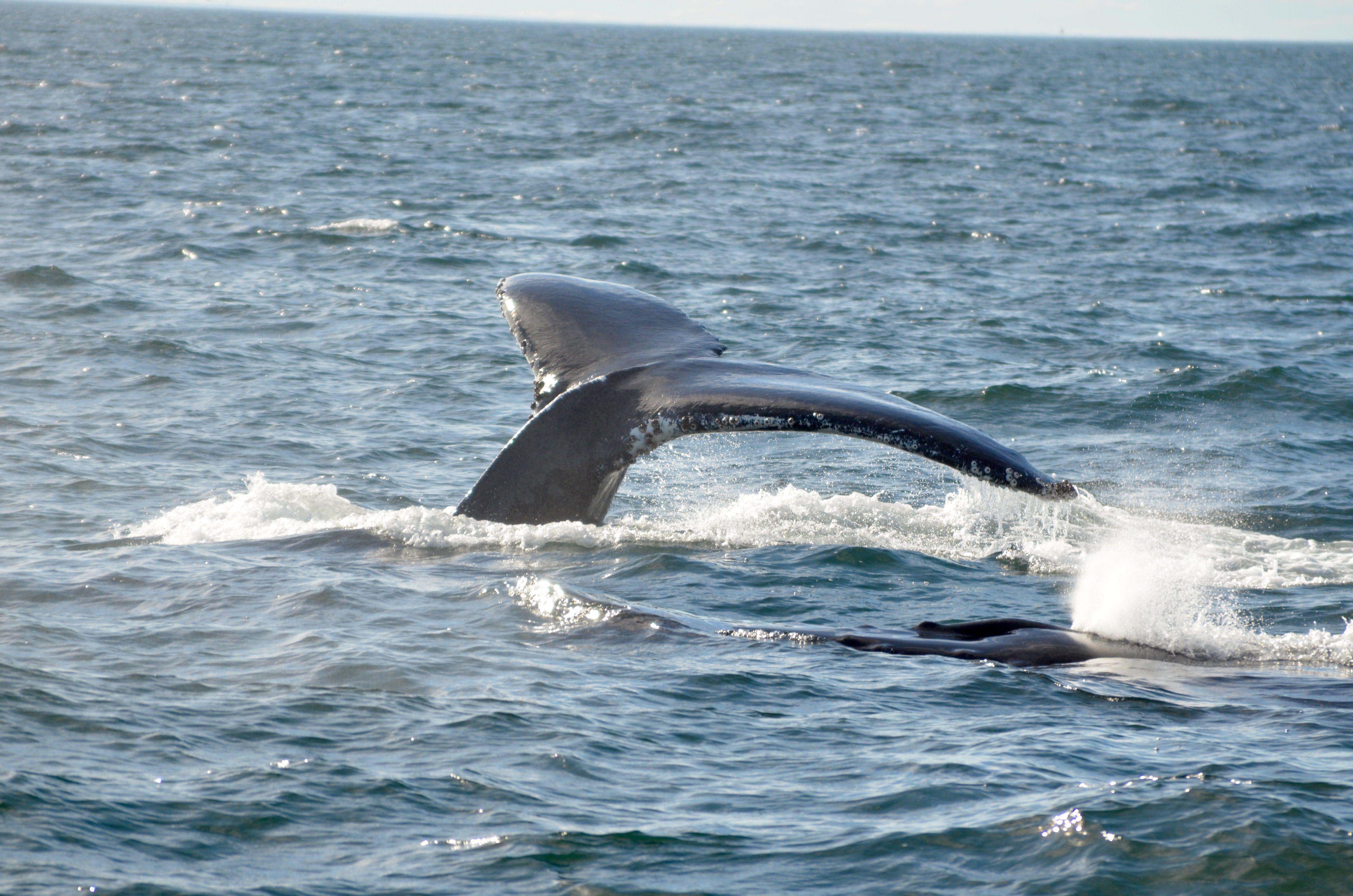 Observación de ballenas de Gloucester