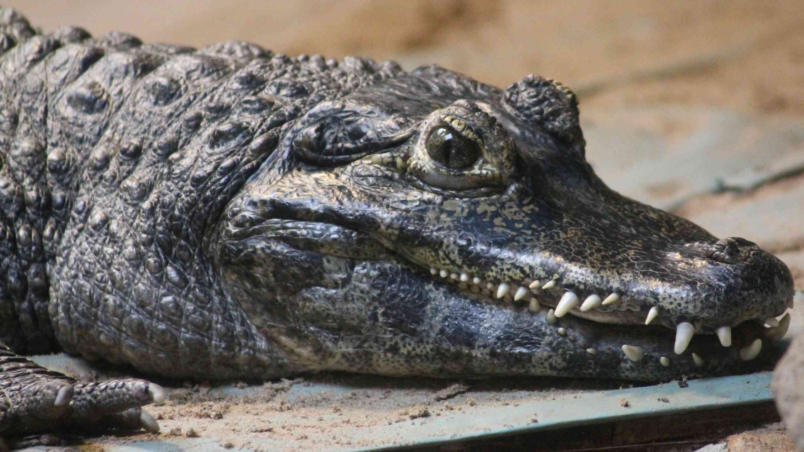 Close-Up Of Alligator At Blackpool Zoo