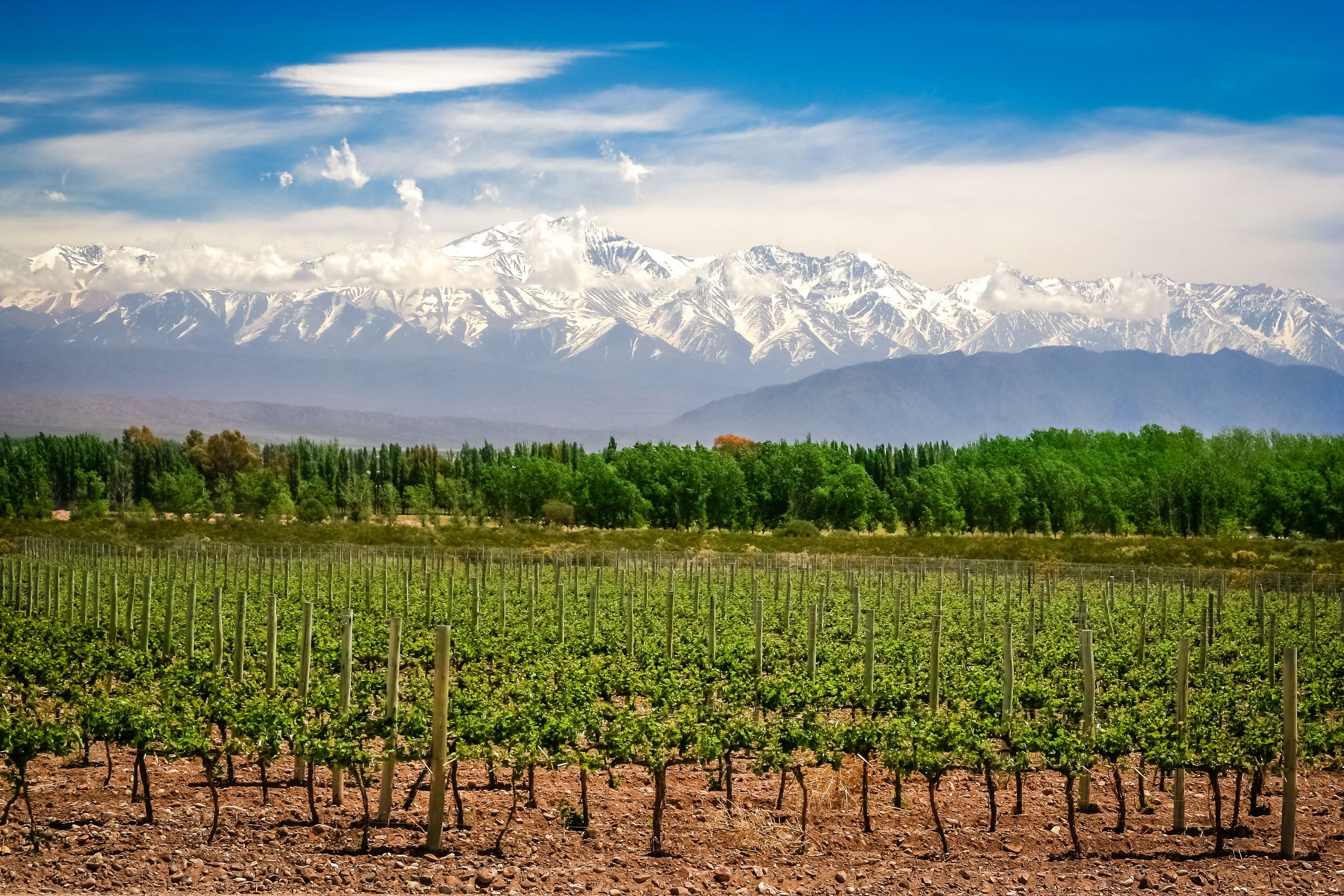 Viñedos orgánicos cerca de Mendoza en Argentina con los Andes al fondo