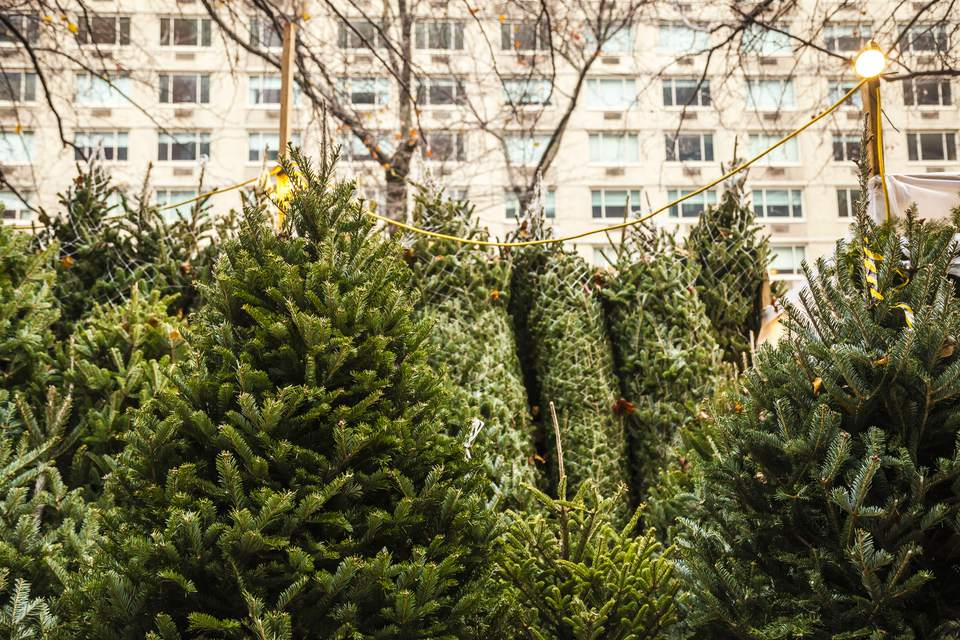 Christmas trees on sale in the streets of NYC