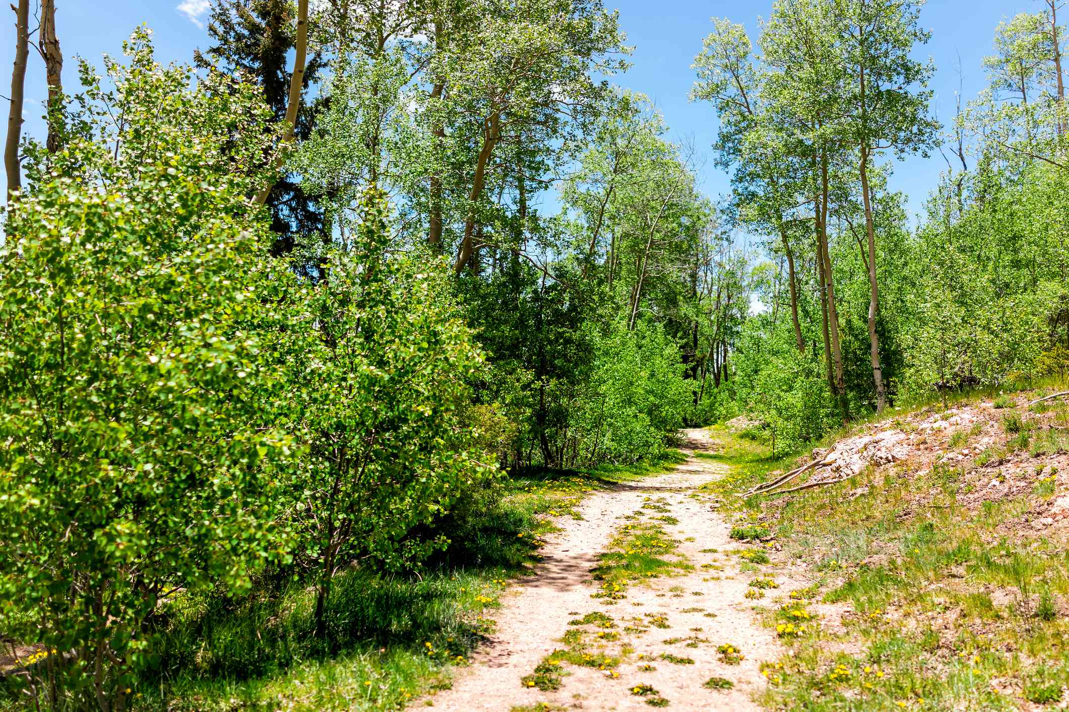 Santa Fe National Forest Sangre de Cristo mountains with trail and green aspen trees in spring or summer on peak