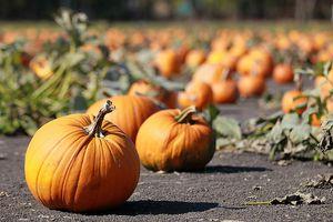 An outdoor pumpkin patch.