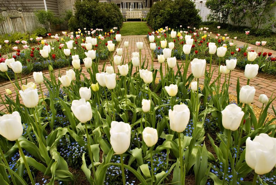 Close up of tulips in a beautiful garden