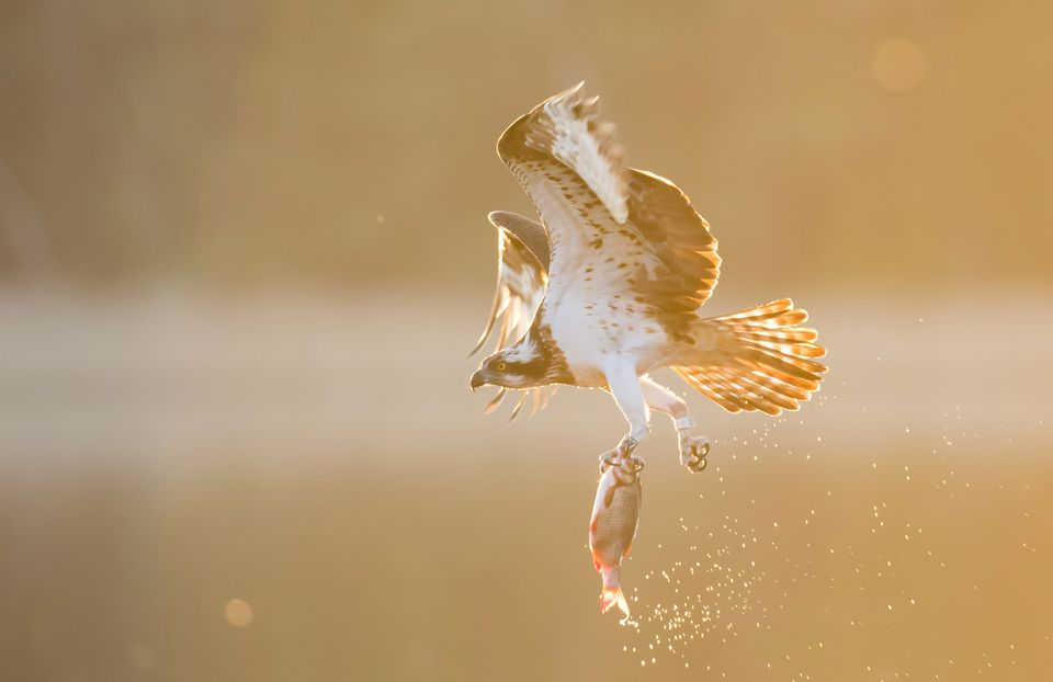Osprey with a fish, in flight