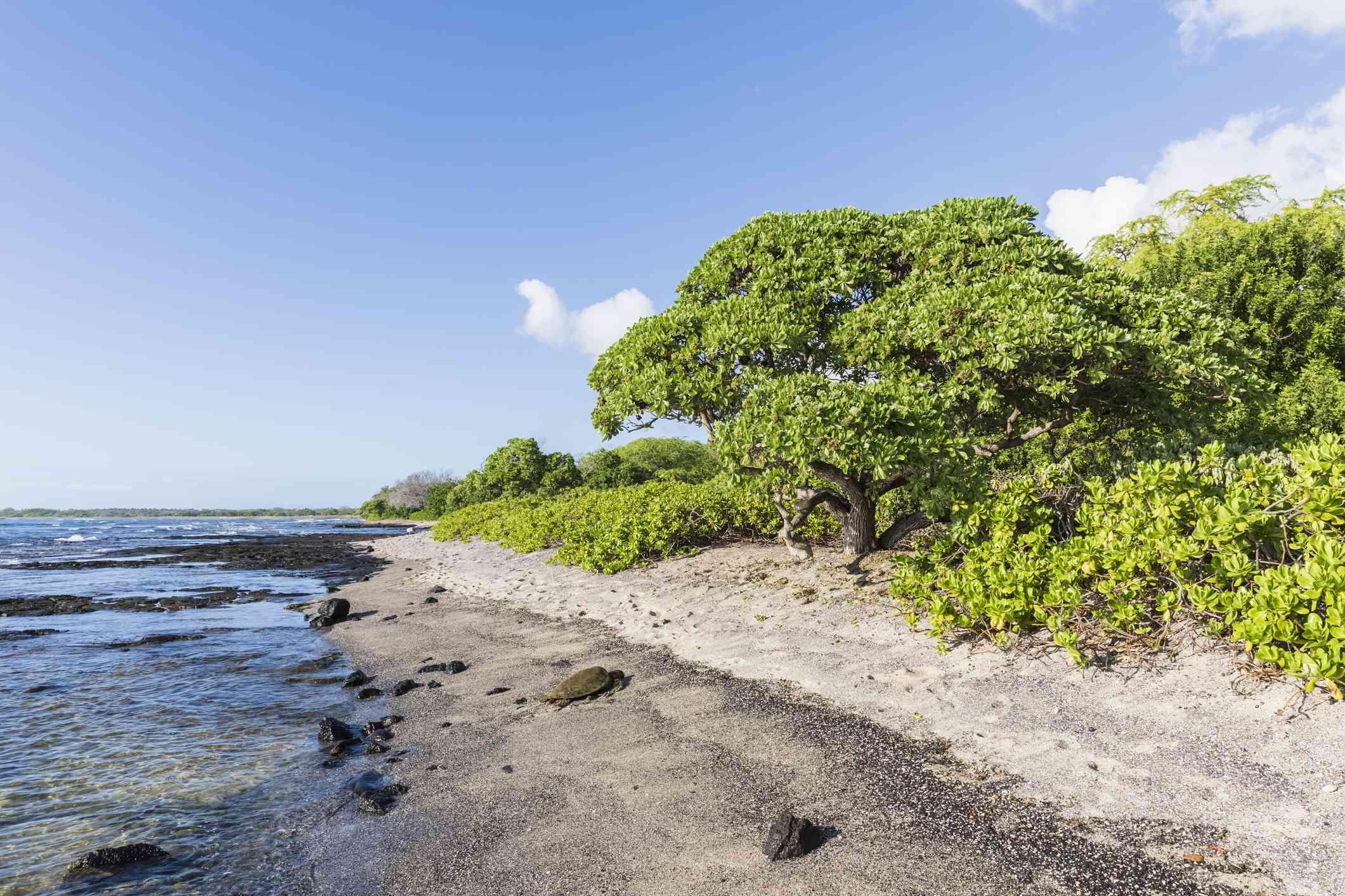 USA, Hawaii, Big Island, Green Sea Turtle on beach at Honokohau Small Boat Harbor
