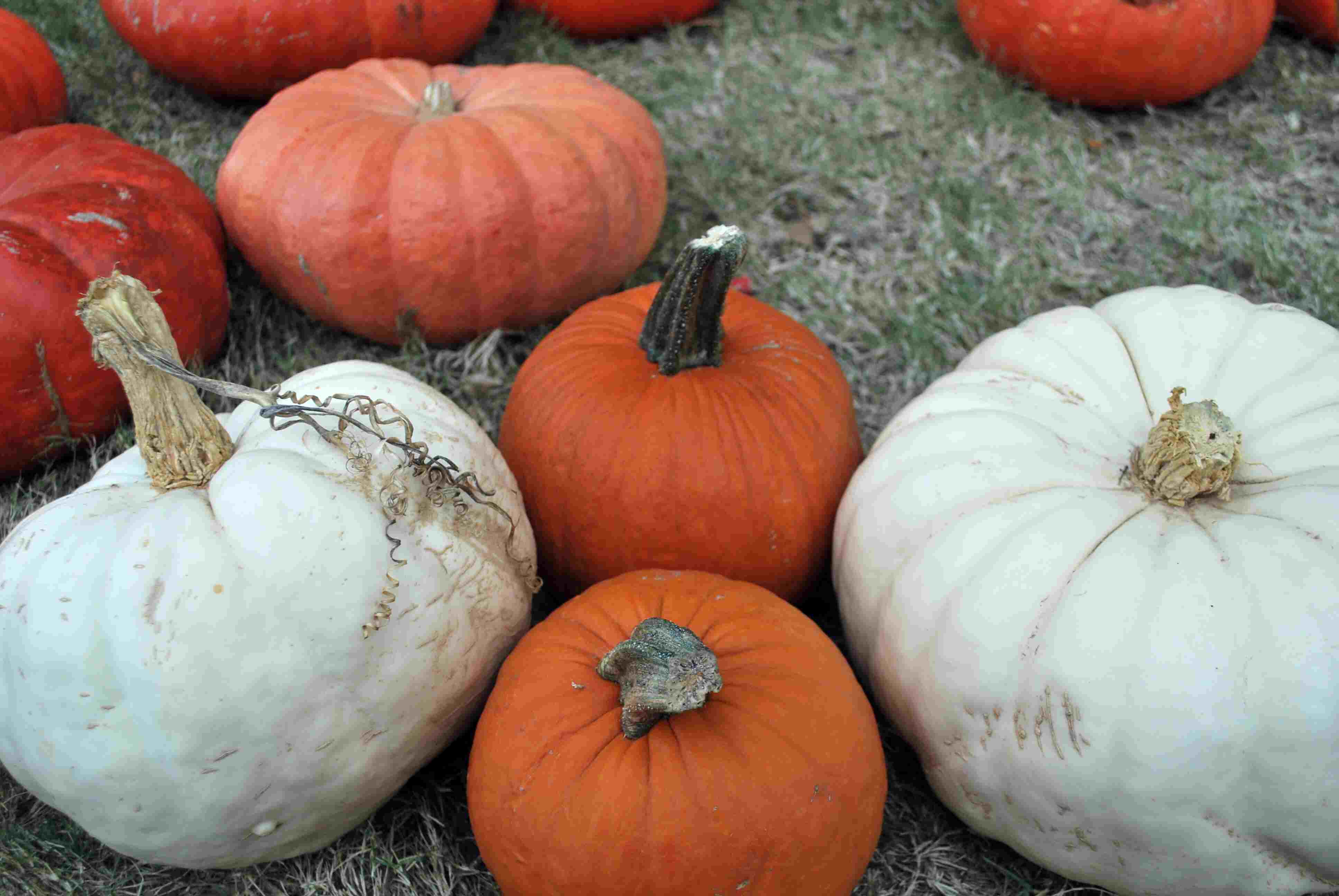 Hall's Pumpkin Patch