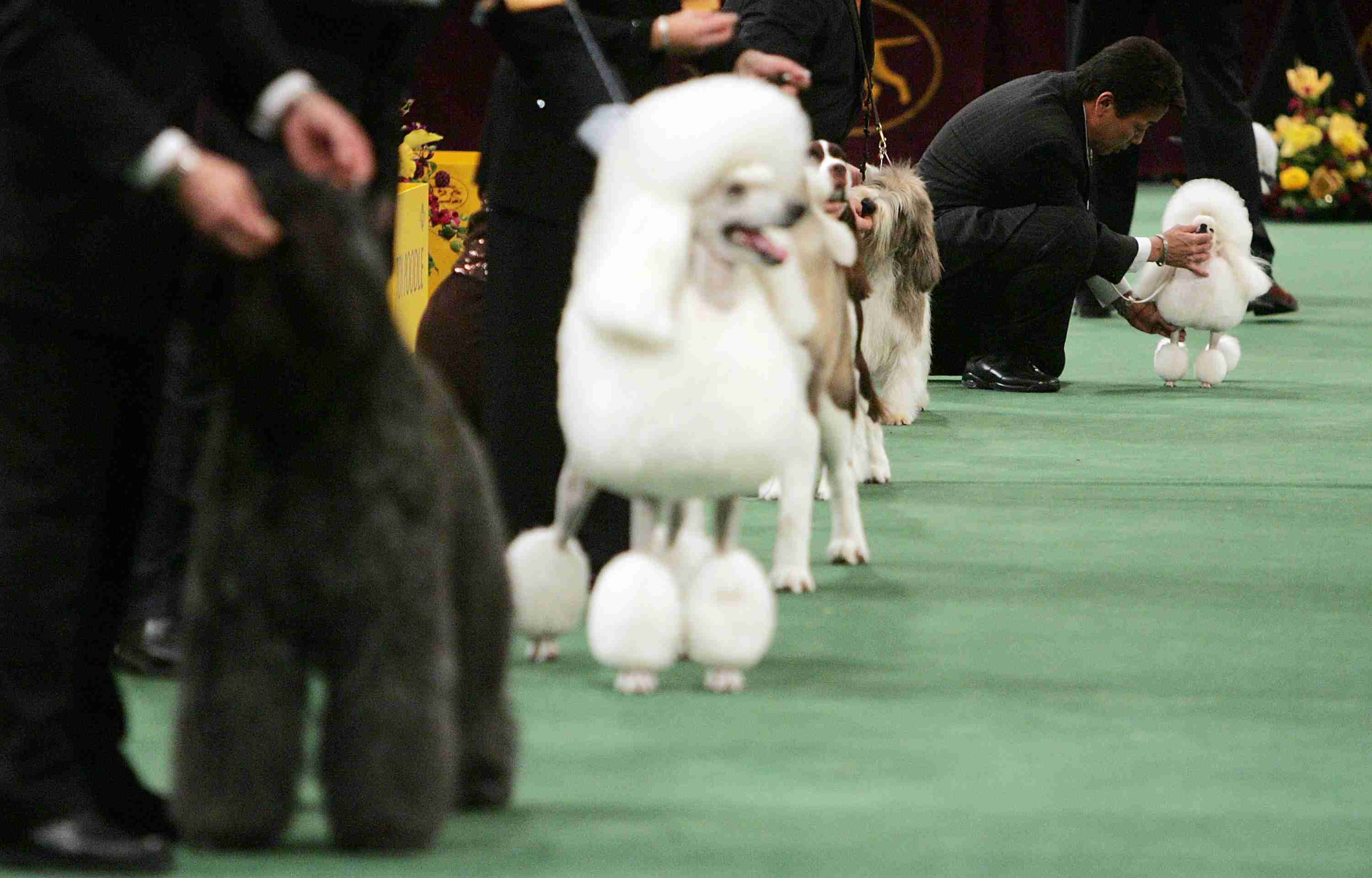 Westminster Dog Show Photo - Dogs Compete at the Westminster Kennel Club Dog Show