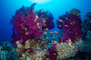 Red Sea Coral Reef, Egypt