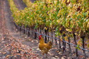 A California Vineyard in Fall