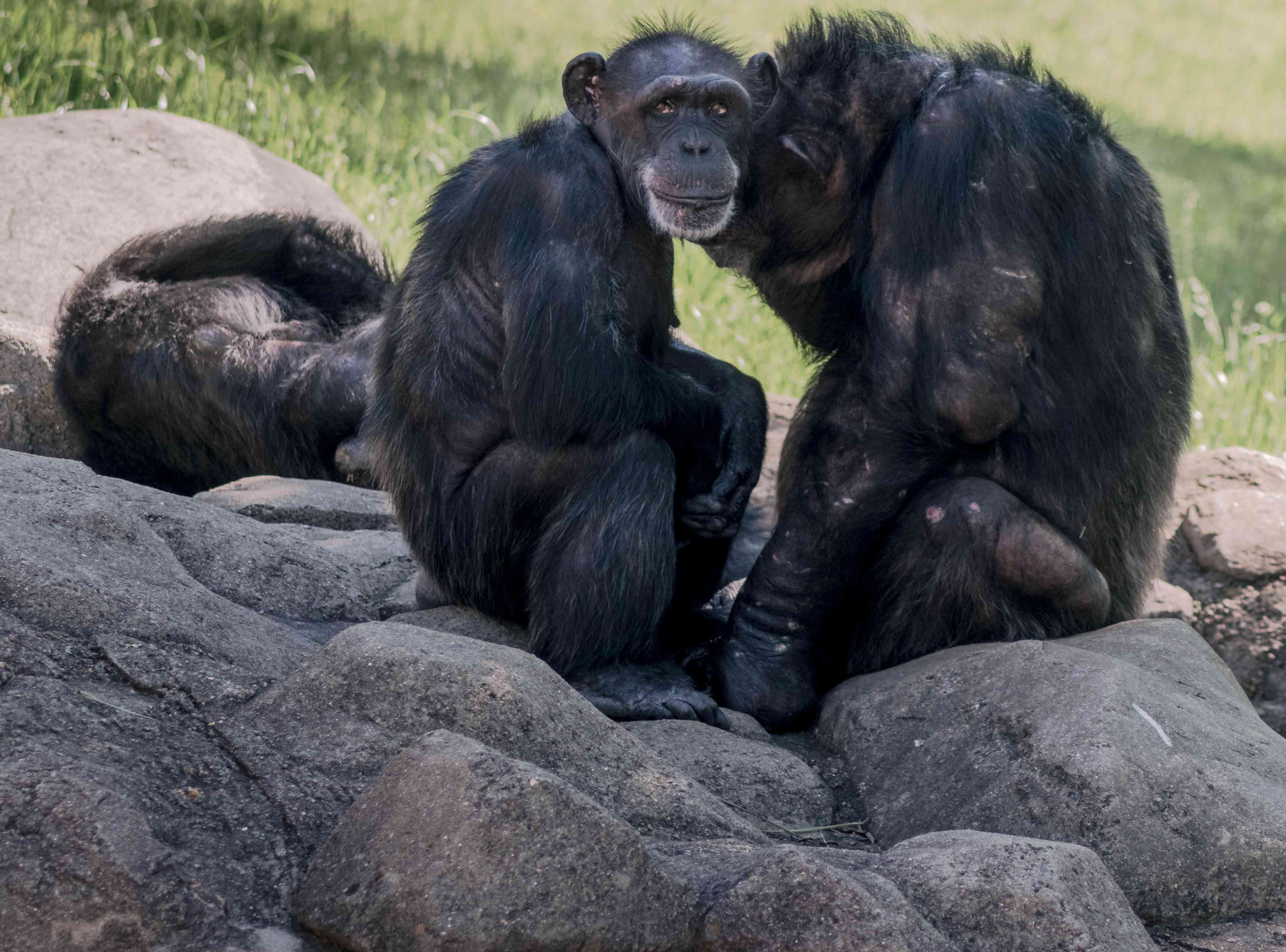 Close-Up Of Chimps Sitting On Rock