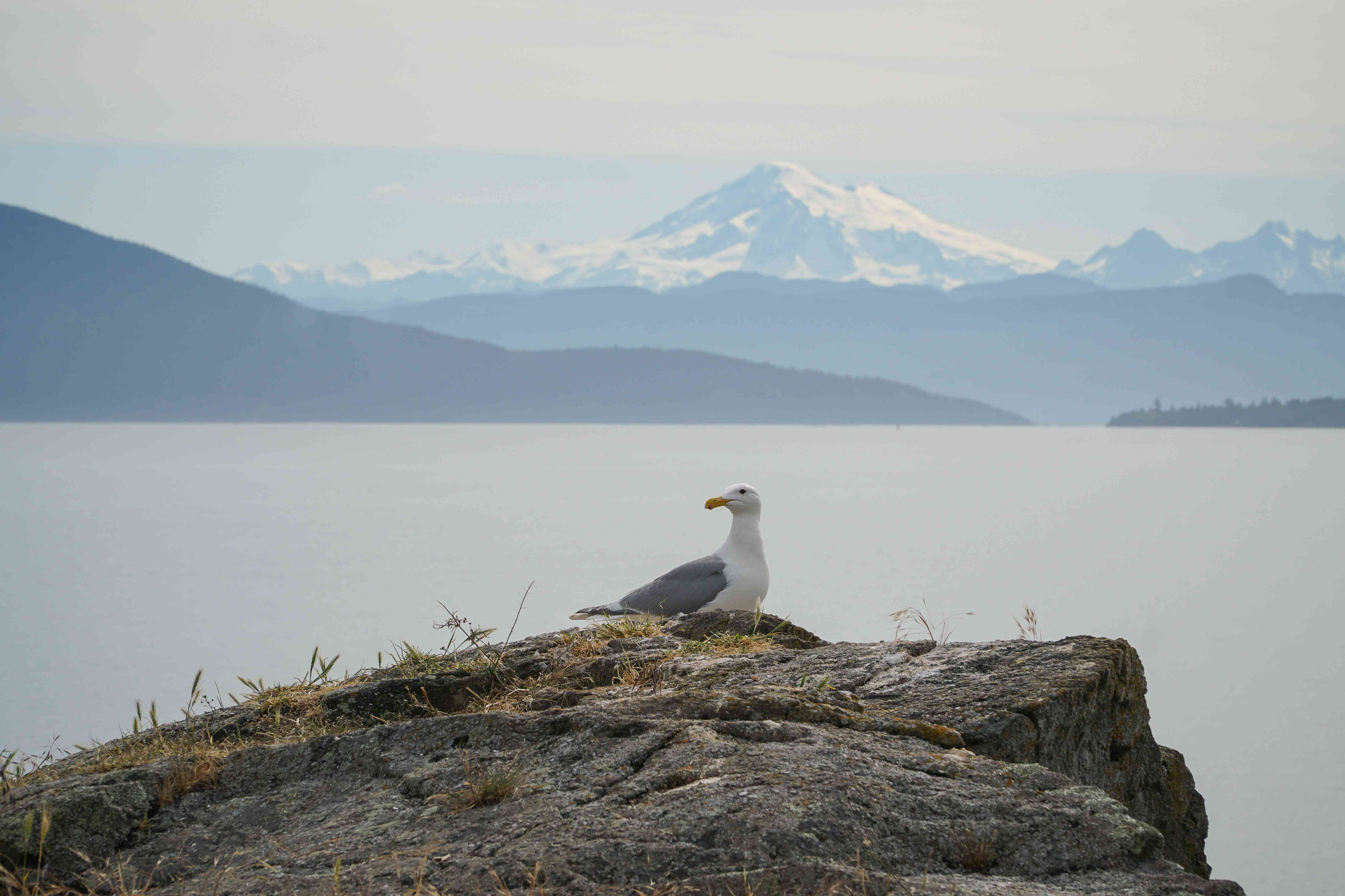 A seagull on a rock with Mt Baker in the background