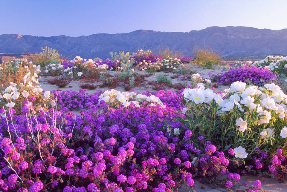 How and where to see california wildflowers in bloom anza borrego desert january through march mightylinksfo