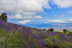 Alii Kula Lavender Farm on Maui