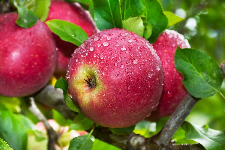 Ripe wet apples on tree after rain.