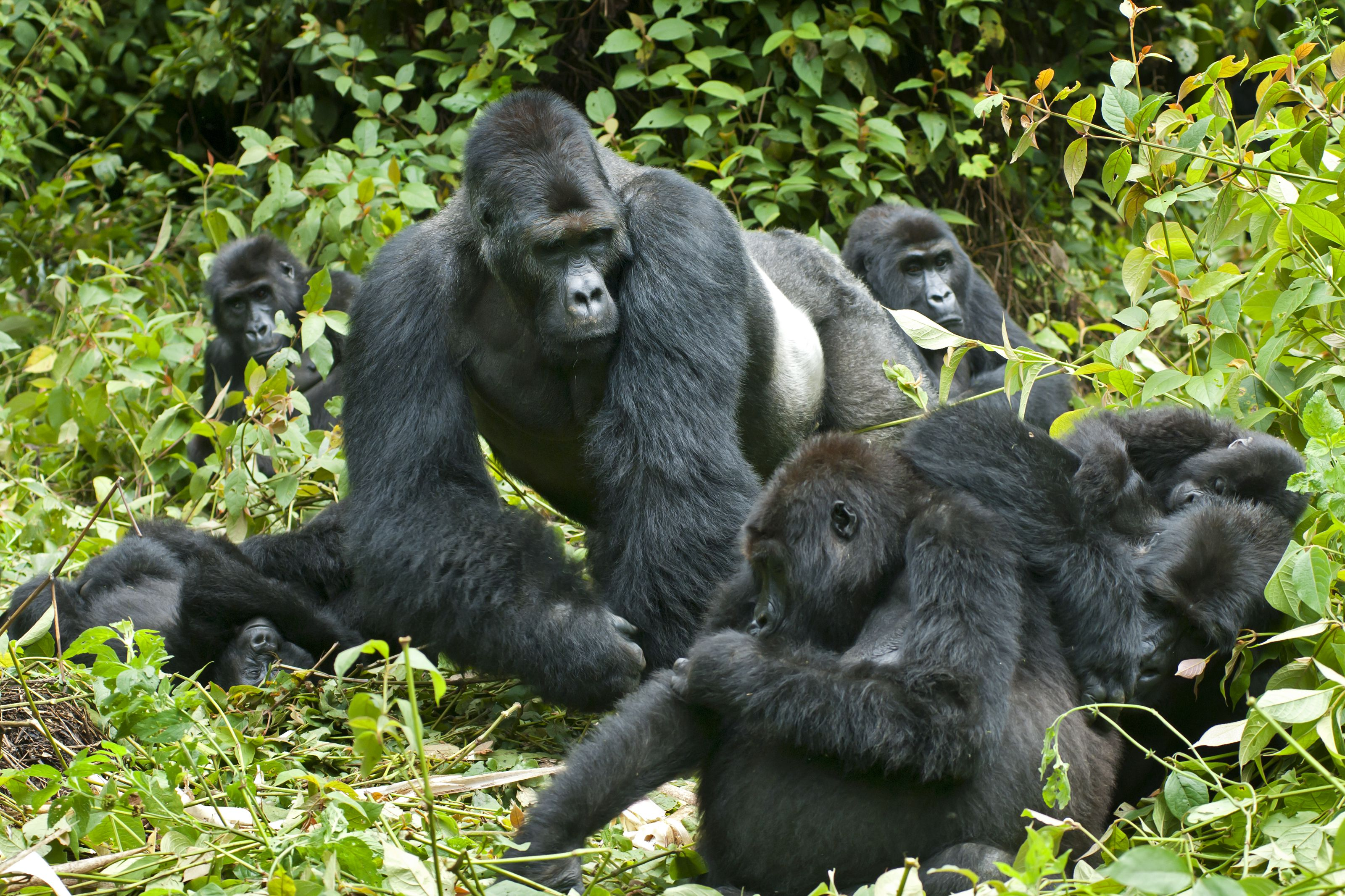 The Best Places To Go Gorilla Trekking In Africa
