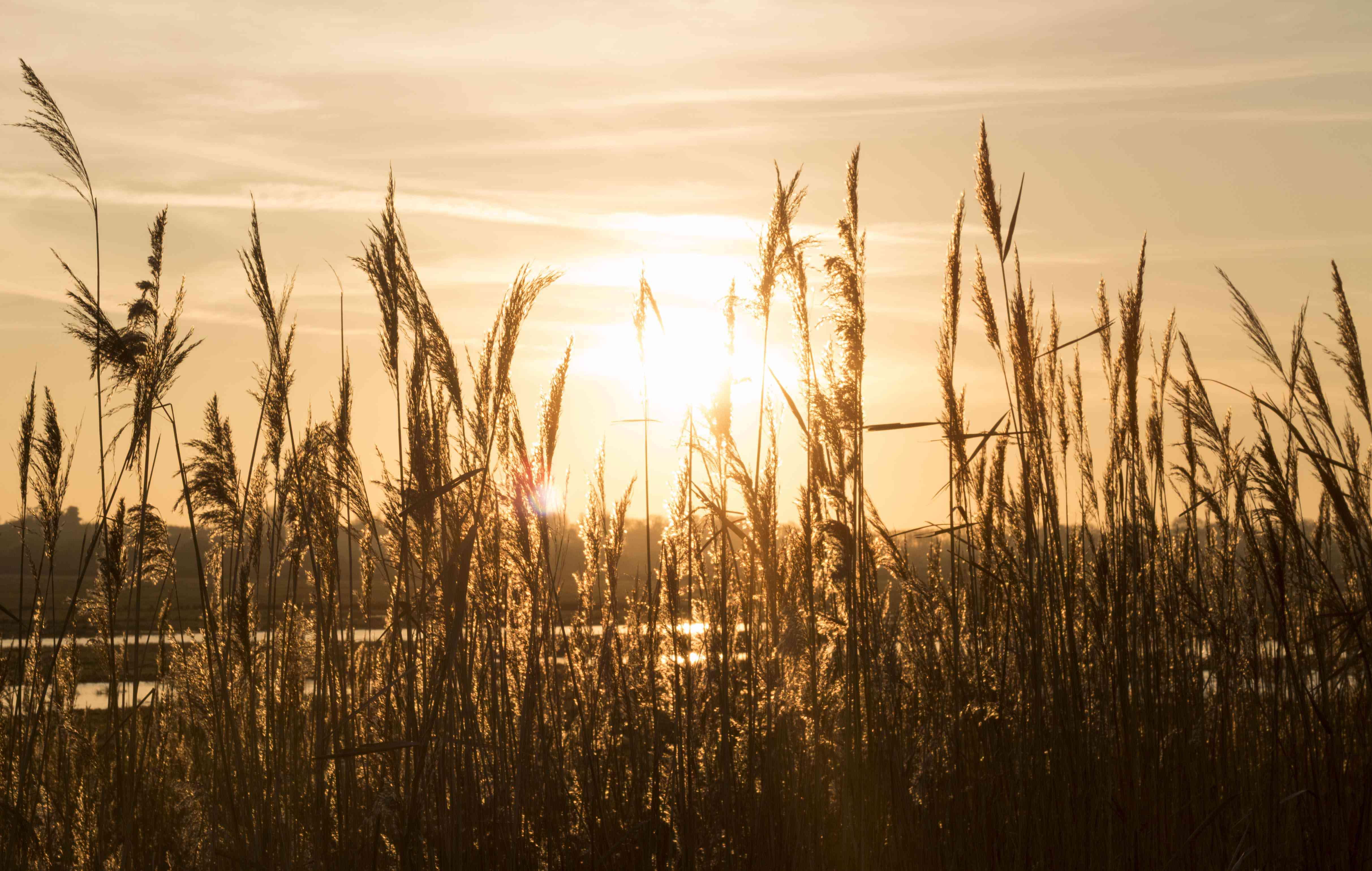 Césped alto con la puesta de sol y la luz que atraviesa el césped