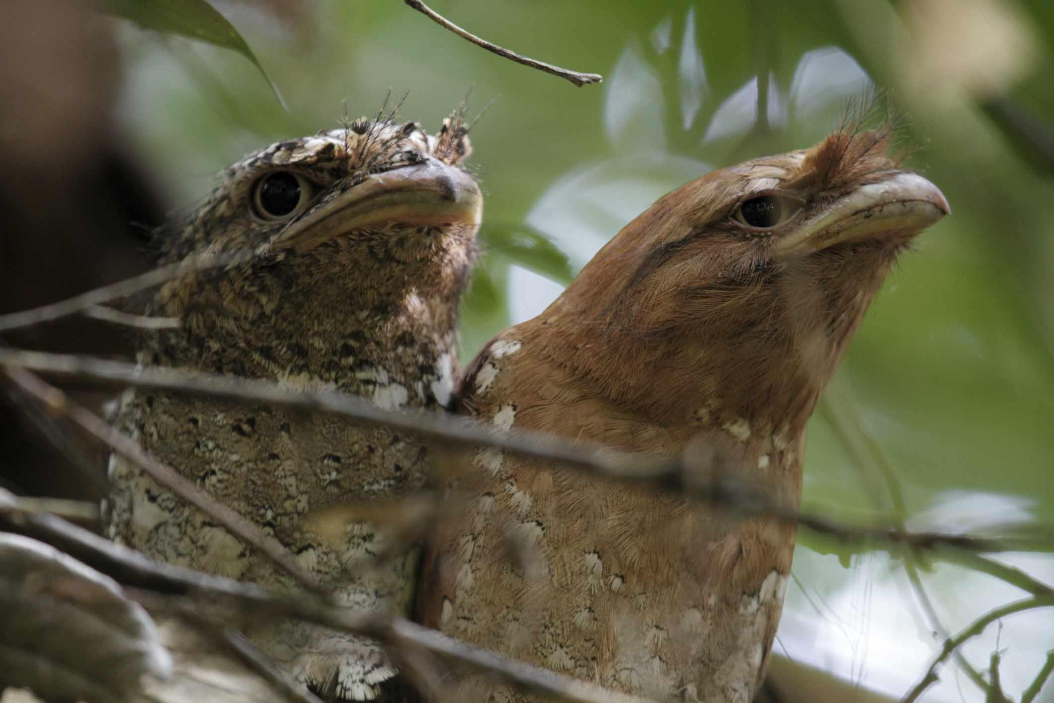 Kerala. Pair of Sri Lanka frogmouths resting at Salim Ali Bird Sanctuary.
