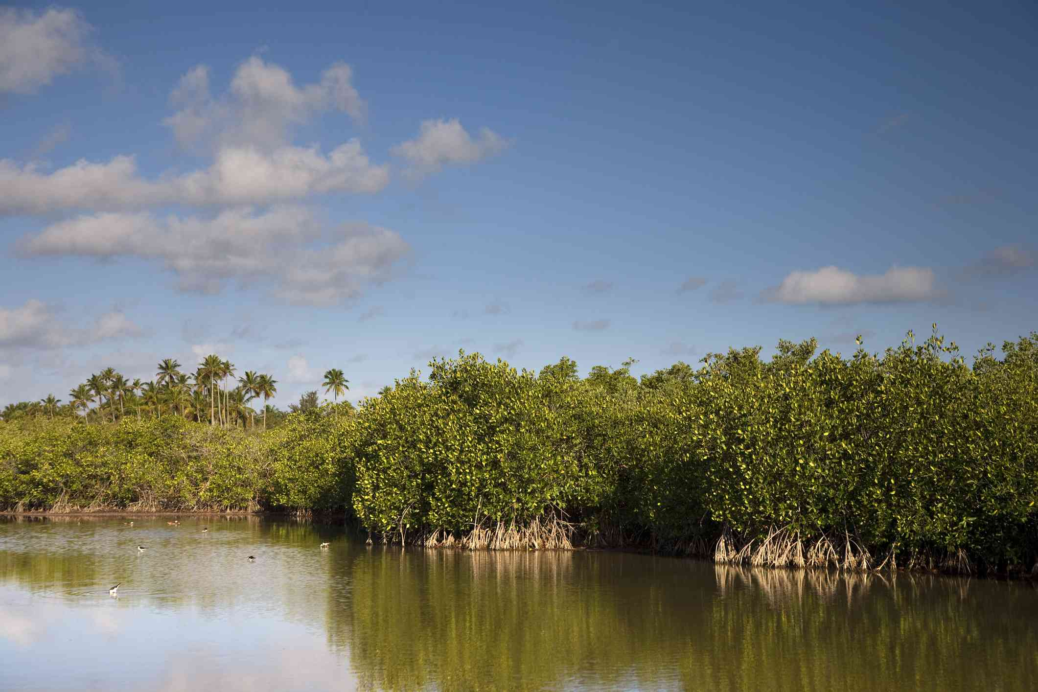 Puerto Rico, Vieques Island, Kiani Lagoon, Mangroves