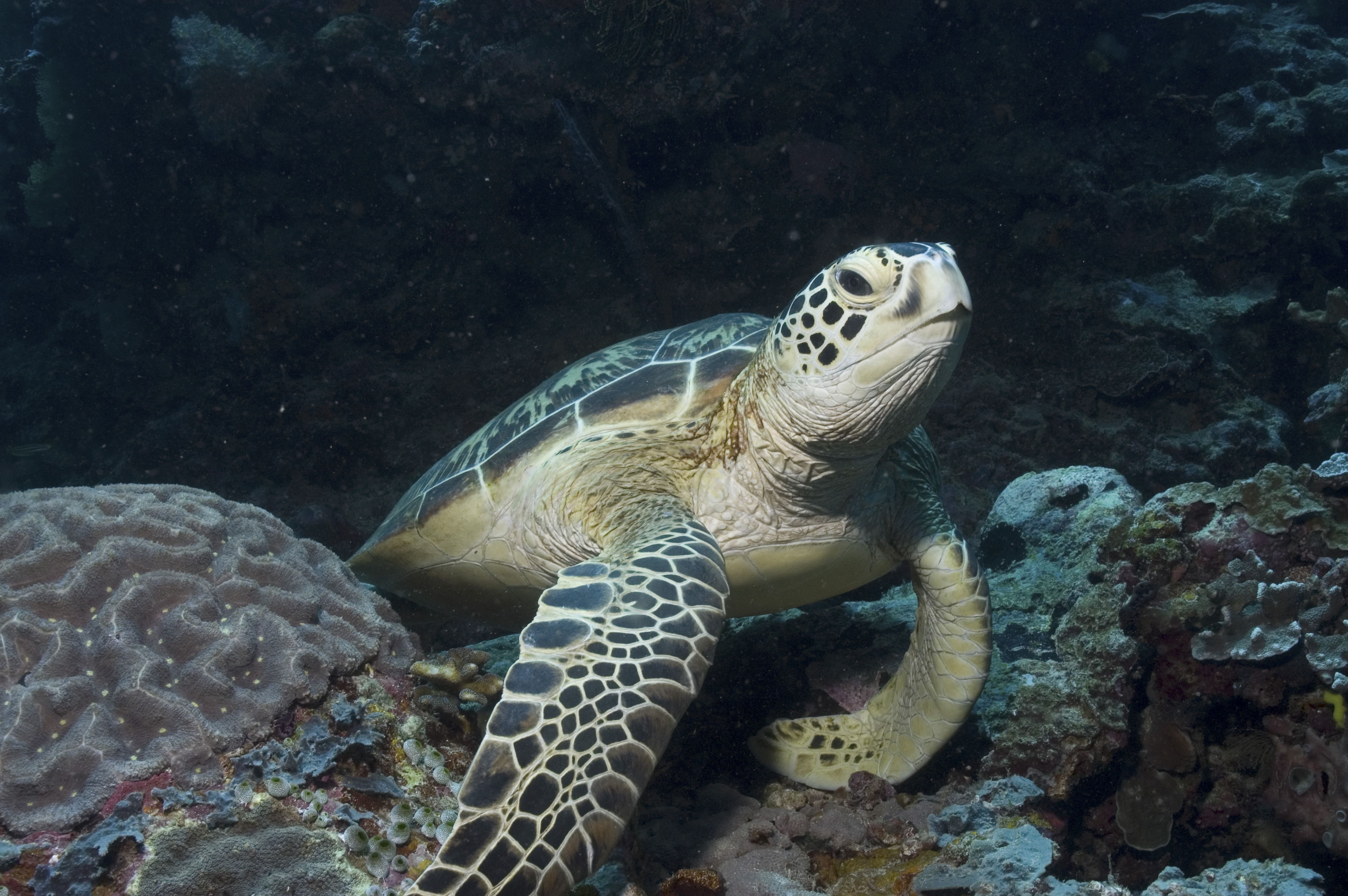 Green Turtle (Chelonia mydas), Turtle resting on top of good corals, Sipidan, Mabul, Malaysia.