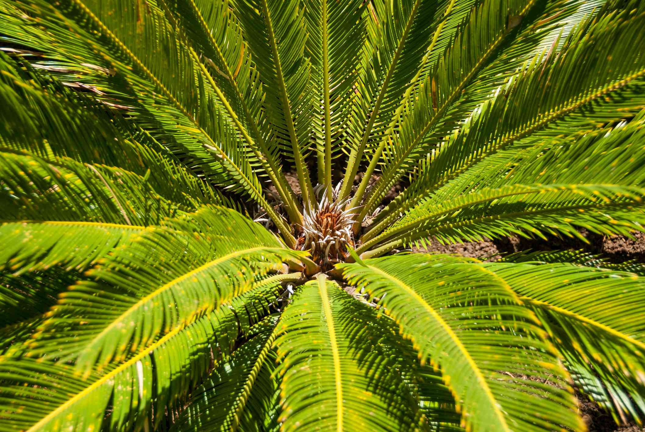 Close-up of a cycad plant, South Africa