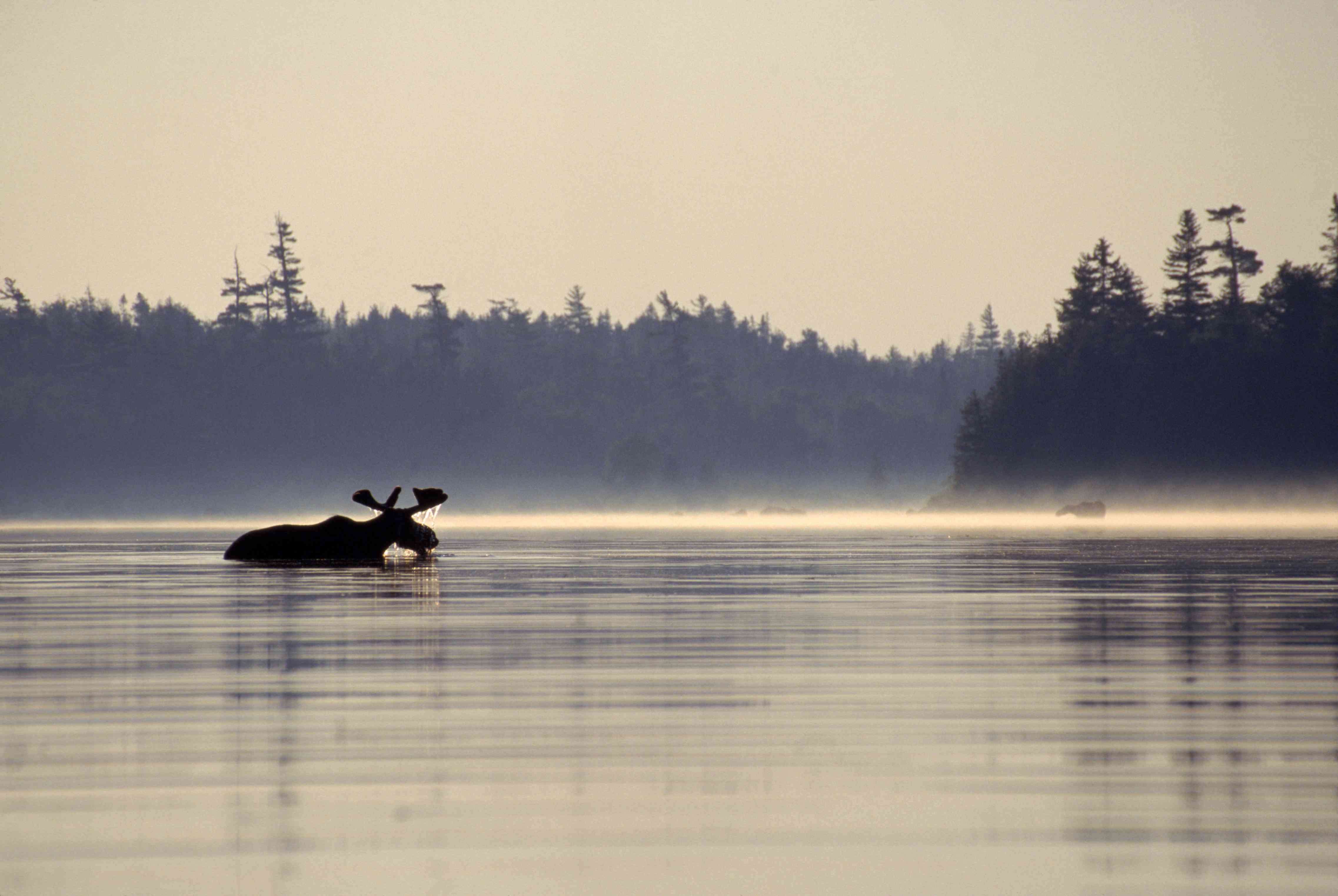 A moose cooling off half immersed in the river, Maine, USA.