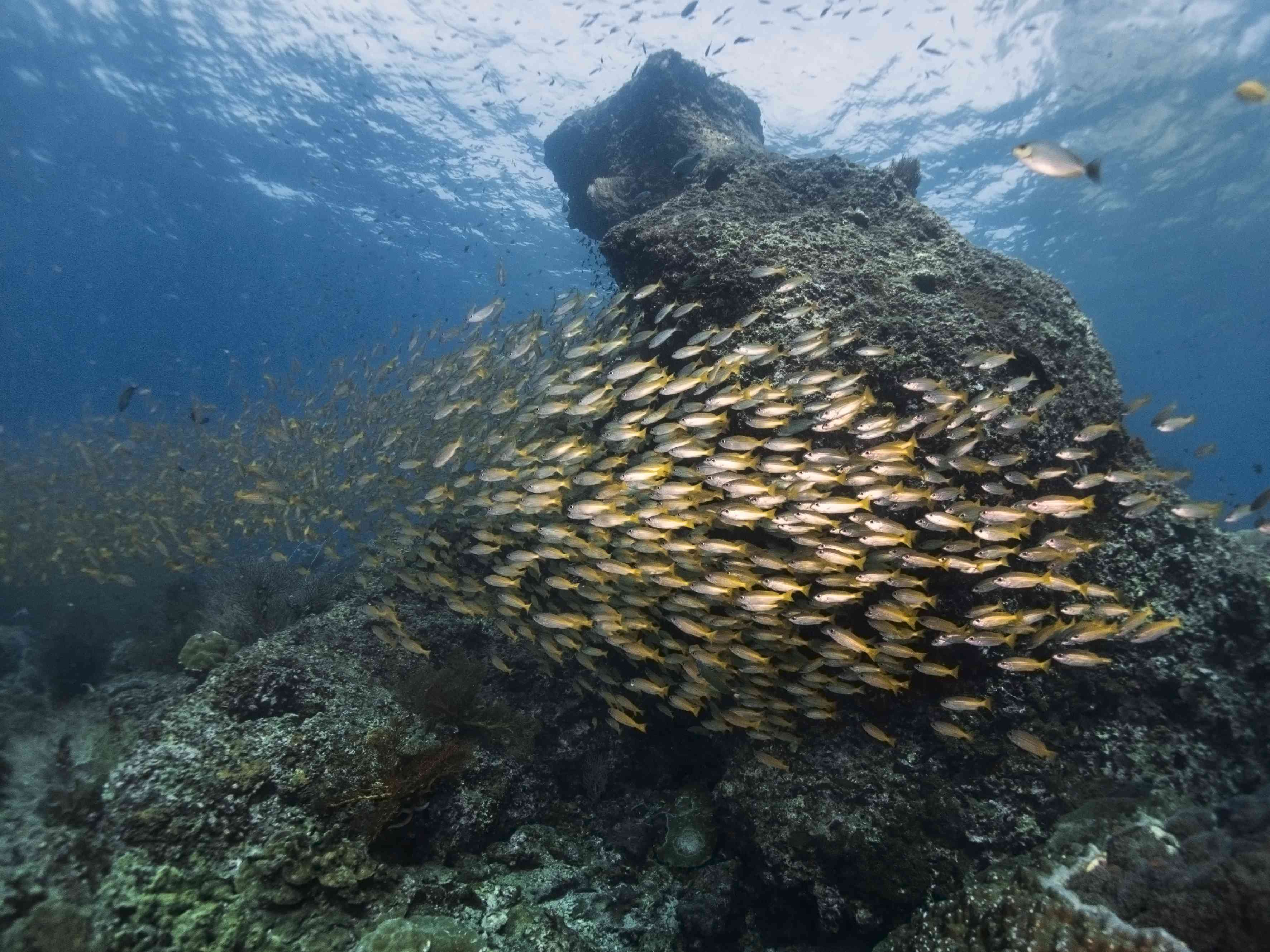 Yellow snappers at Koh Bida, a top dive site in Thailand