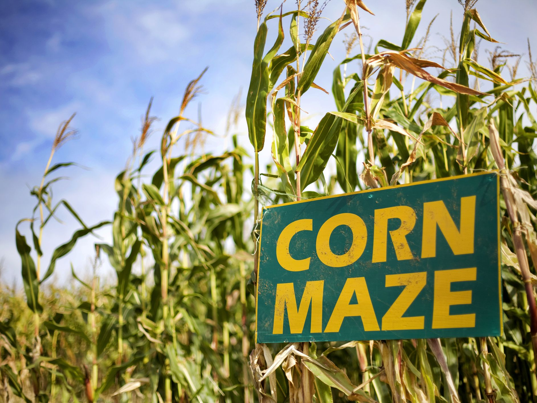 Image result for corn maze pictures