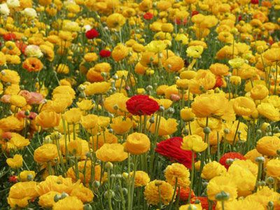 Ranunculus at Carlsbad Flower Fields