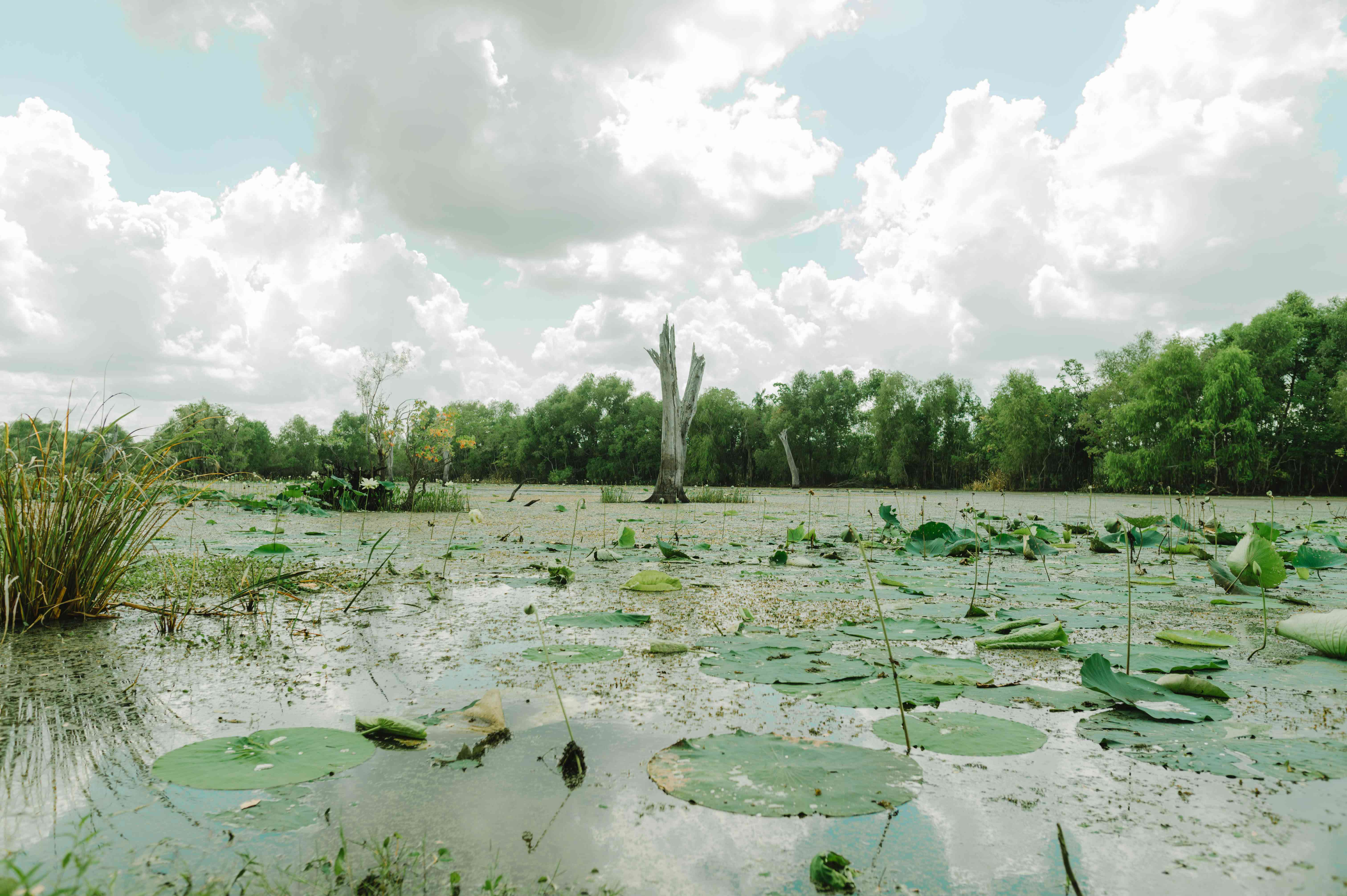 Swampy water covered in lilly pads in Brazos Bend State Park