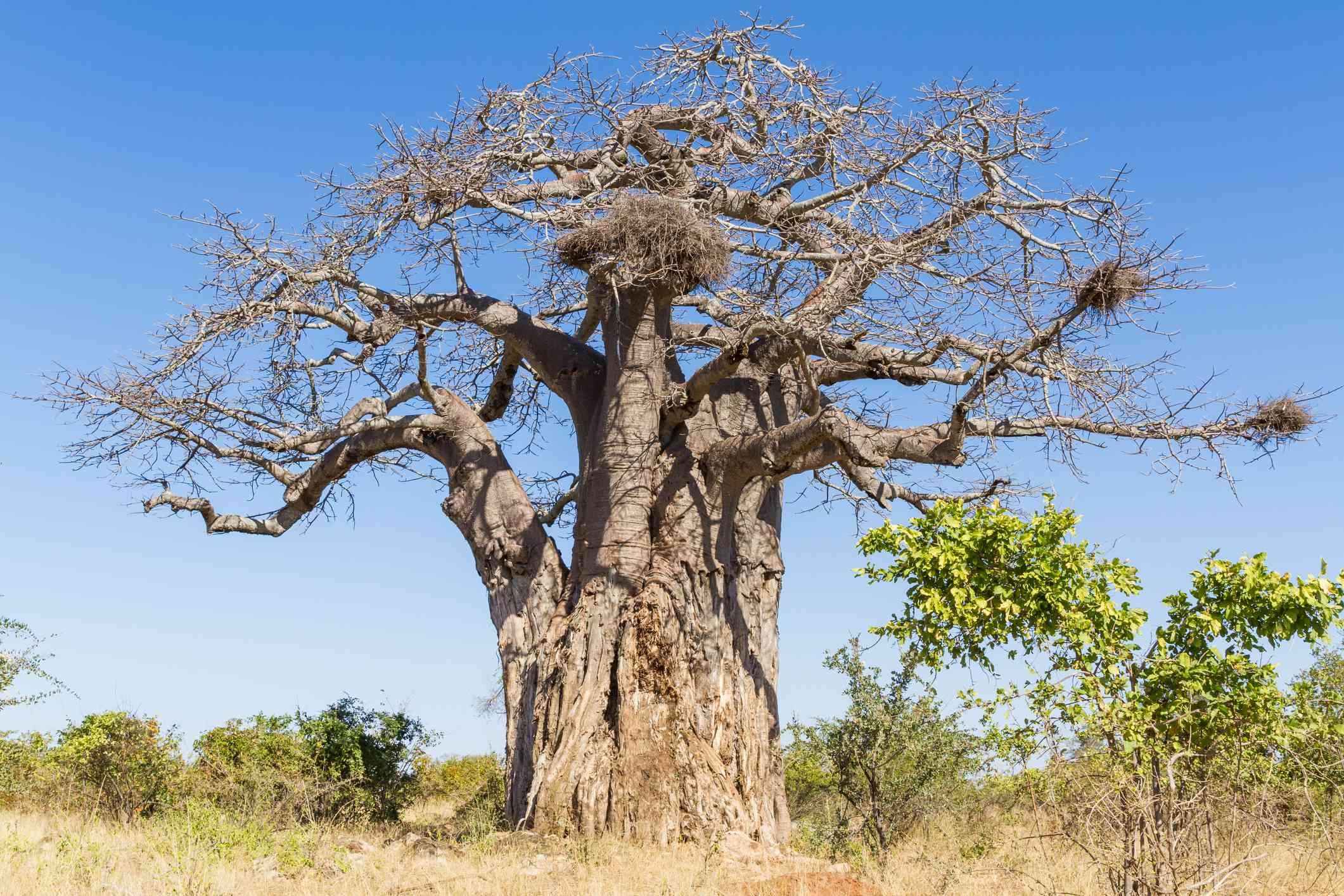 Baobab tree in Kruger National Park, South Africa