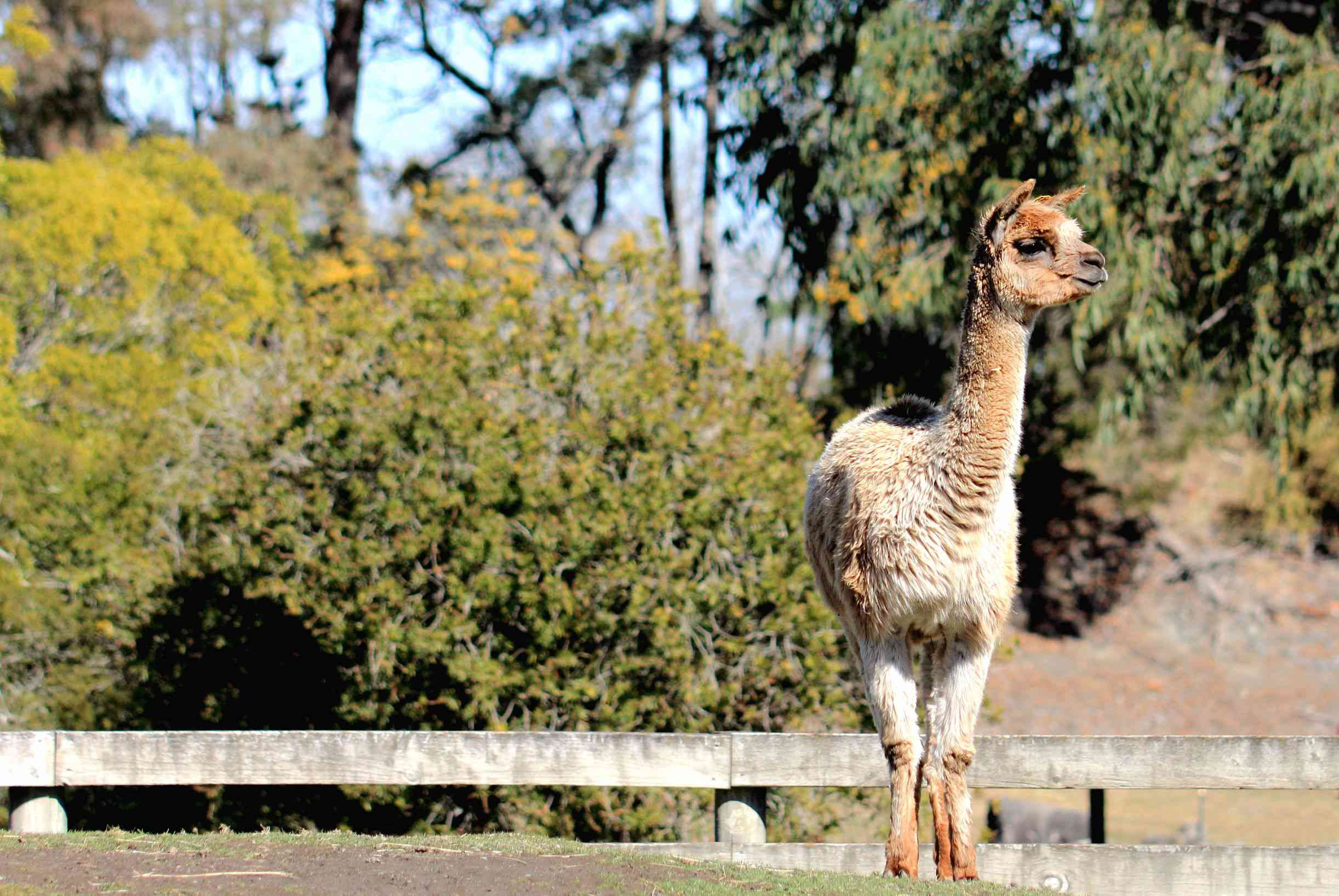 light brown colored alpaca with bushes behind