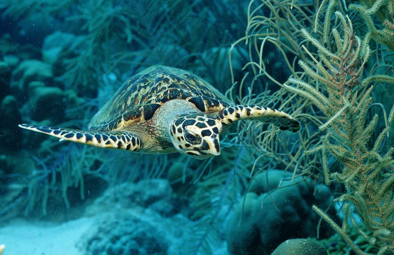 Hawksbill turtle in Martinique